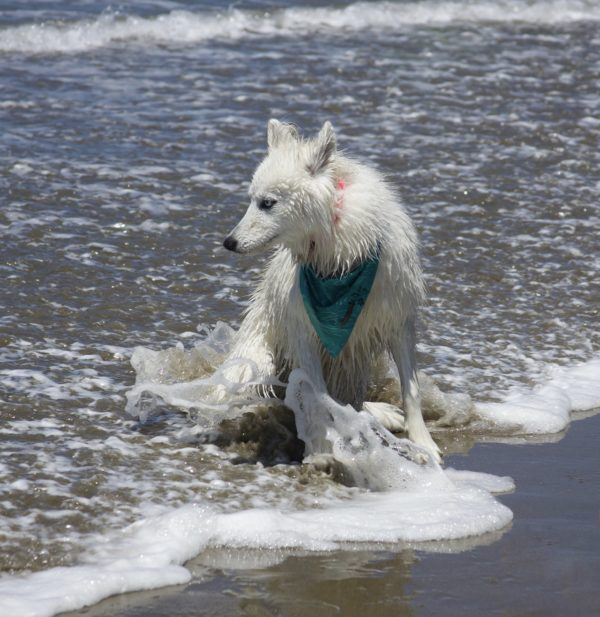 White Siberian Husky Sitting In The Waves Of The Ocean