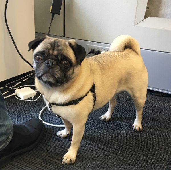 Pug Looking Alert