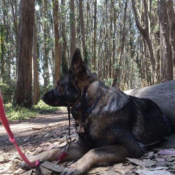 German Shepherd In Woods
