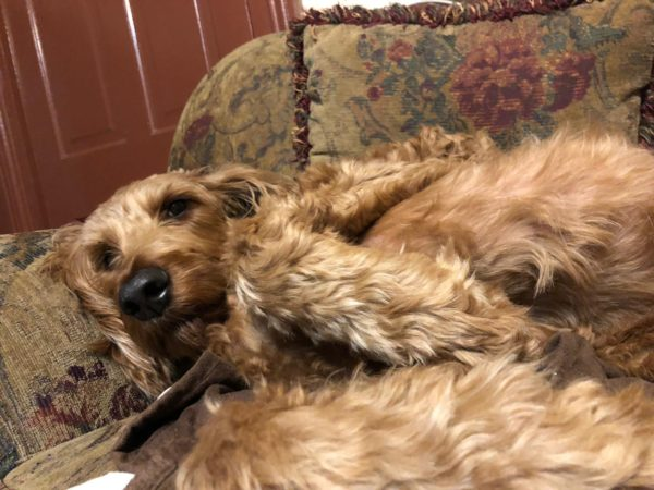 Irish Setter Poodle Mix Lying On A Sofa With His Paws Up