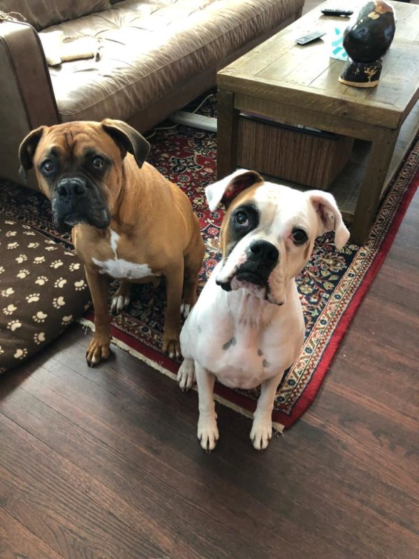 Two Boxers Looking Sad