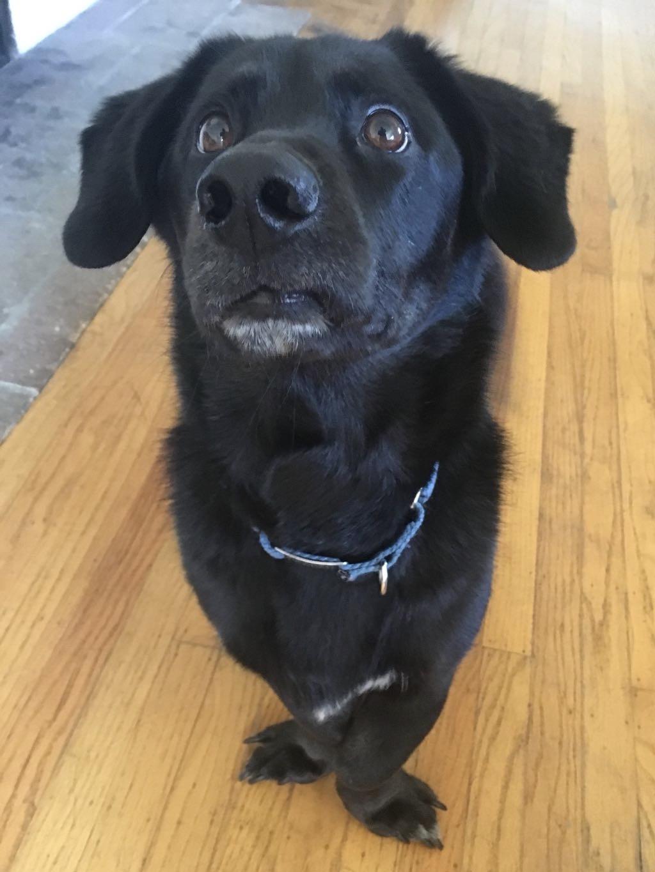 Labrador Retriever Dachshund Mix