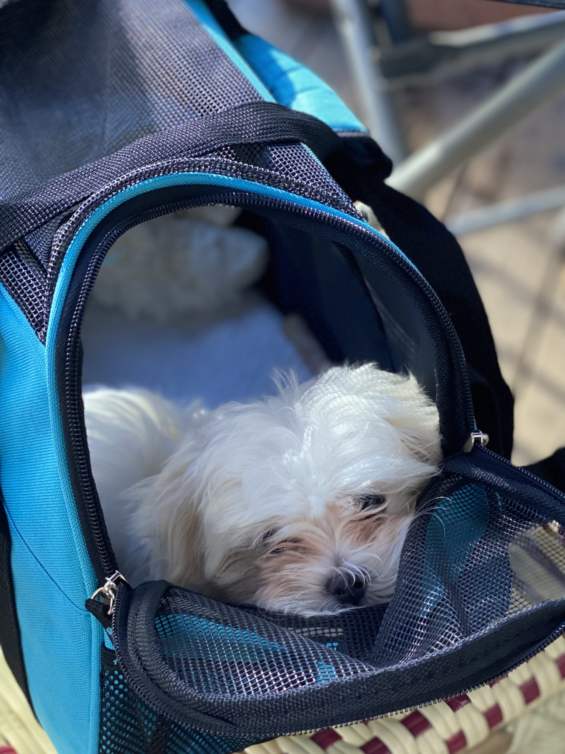 Maltese Puppy In Carrier