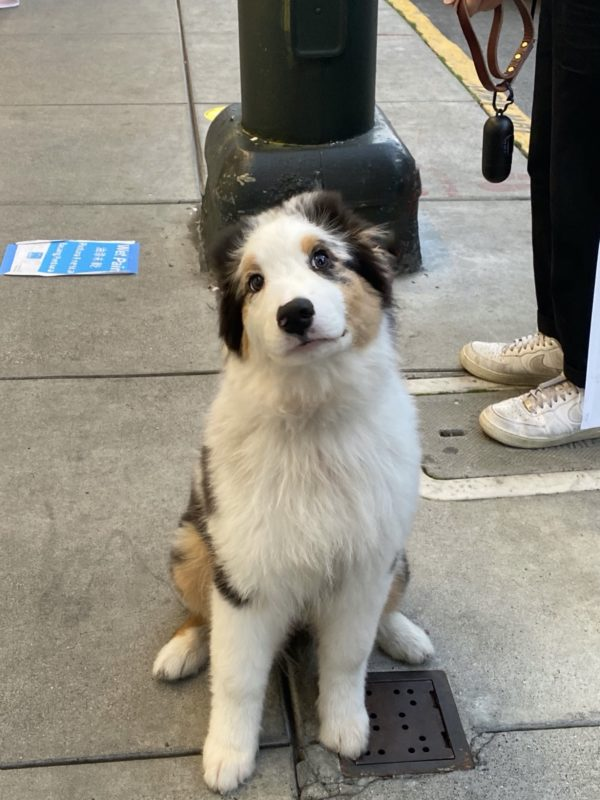 Australian Shepherd Puppy Sitting And Looking At The Camera
