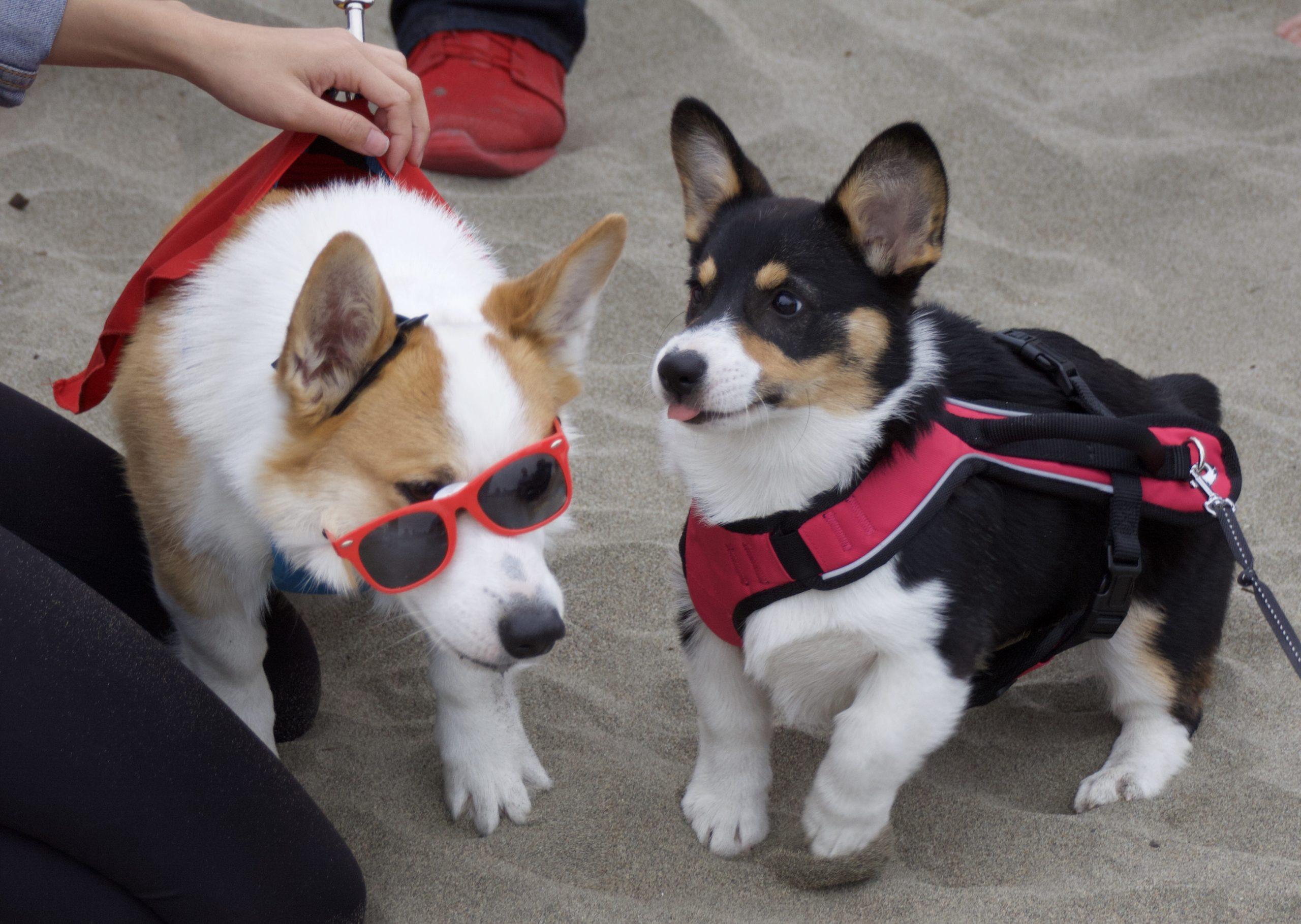 Pembroke Welsh Corgi And Corgi Puppy On Beach