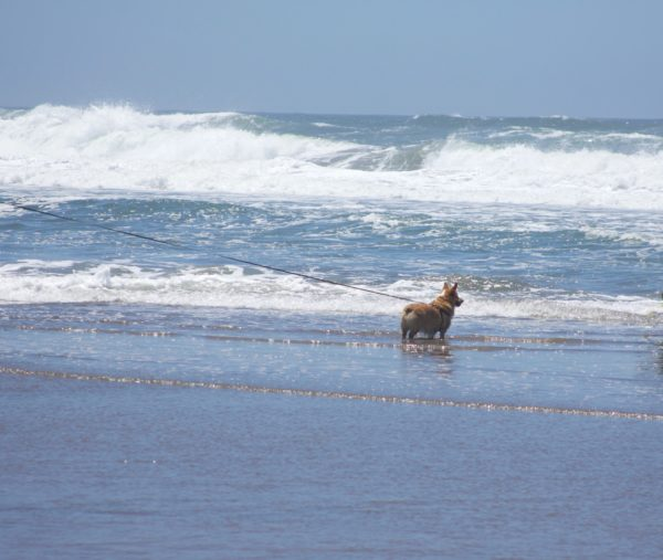 Lone Wet Pembroke Welsh Corgi On A Very Long Leash Stares Out Into The Pacific Ocean From The Beach