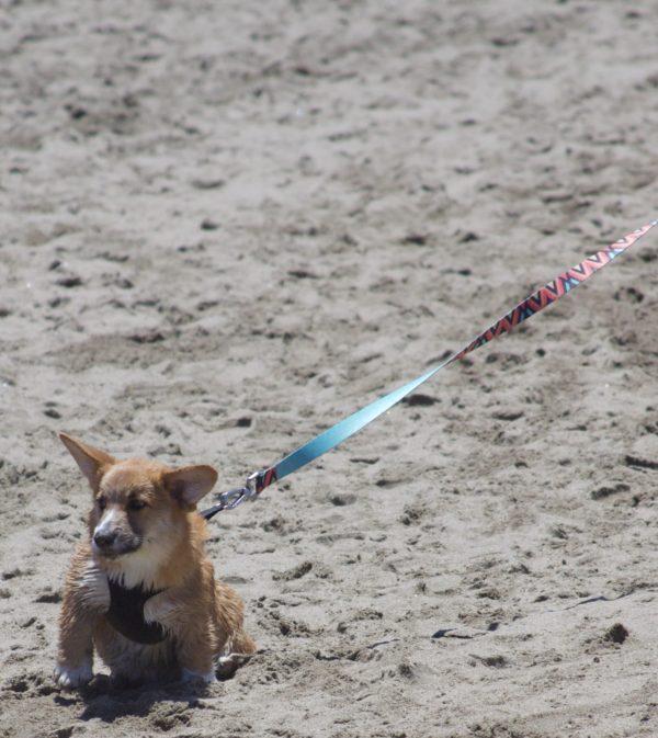 Disgruntled Corgi Puppy On A Leash, On The Beach