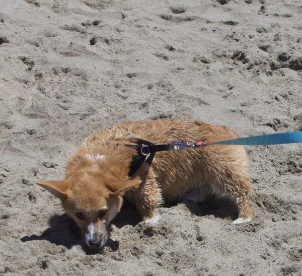 Wet Corgi Puppy On The Beach Looking Sad