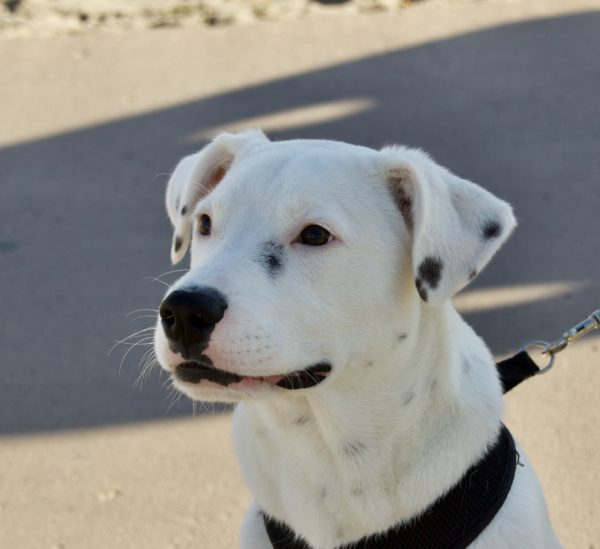 Dalmatian American Pit Bull Terrier Mix Puppy