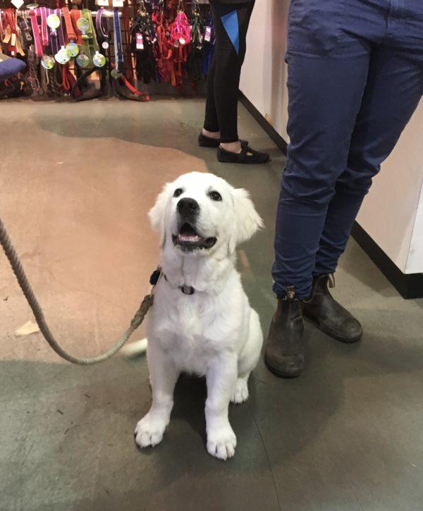 English Cream Golden Retriever Puppy Looking Very Obedient