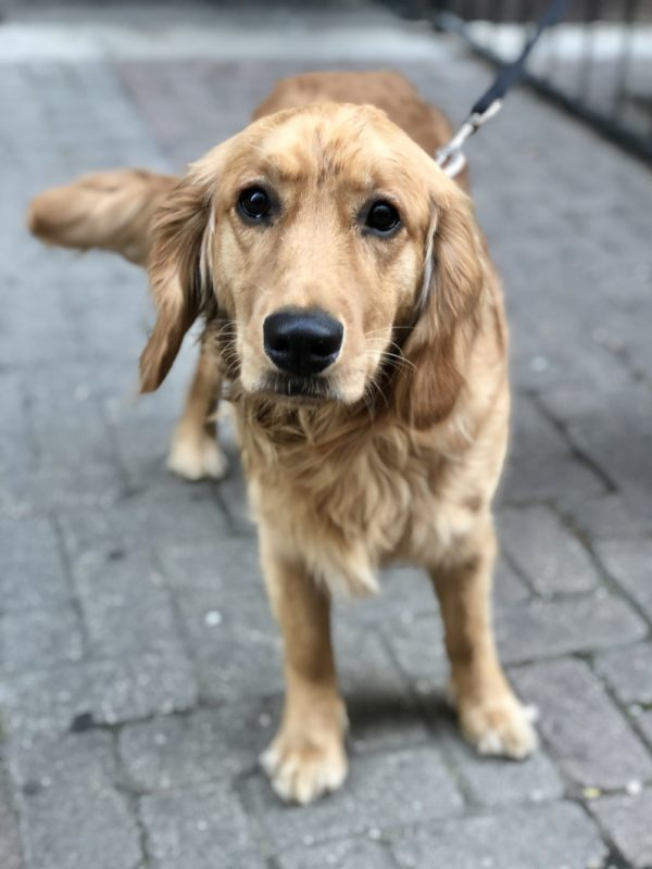 Golden Retriever Looking Sad
