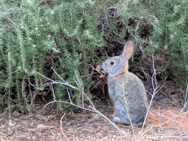 Wild Bunny Rabbit Near Rosemary