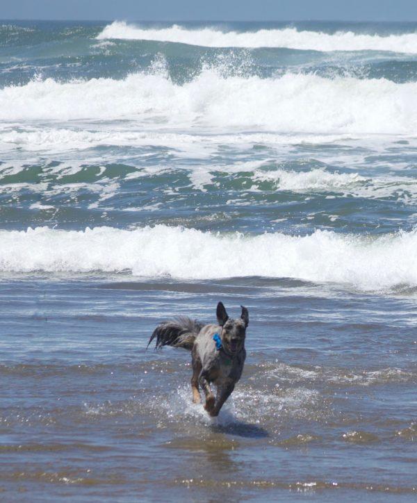 Catahoula Hog Dog Running Through The Surf