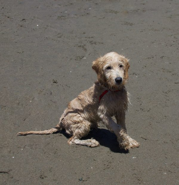Wet And Scruffy Labrador Retriever Mix Sitting On The Beach