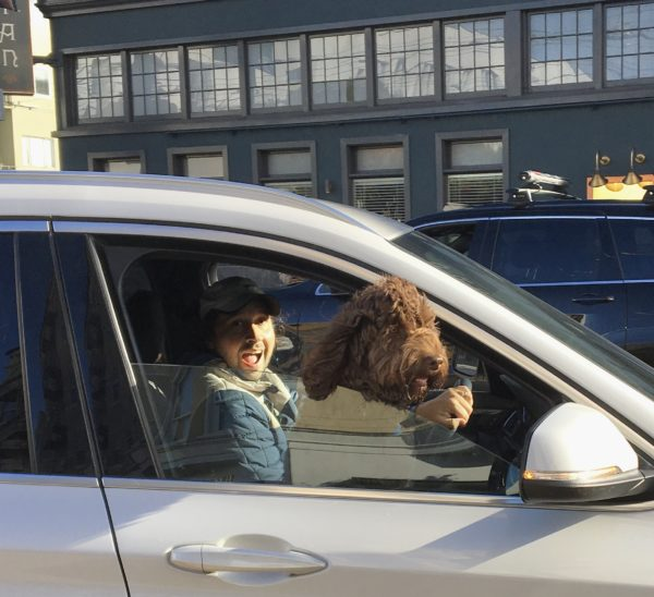 Man And Chocolate Labradoodle In Car