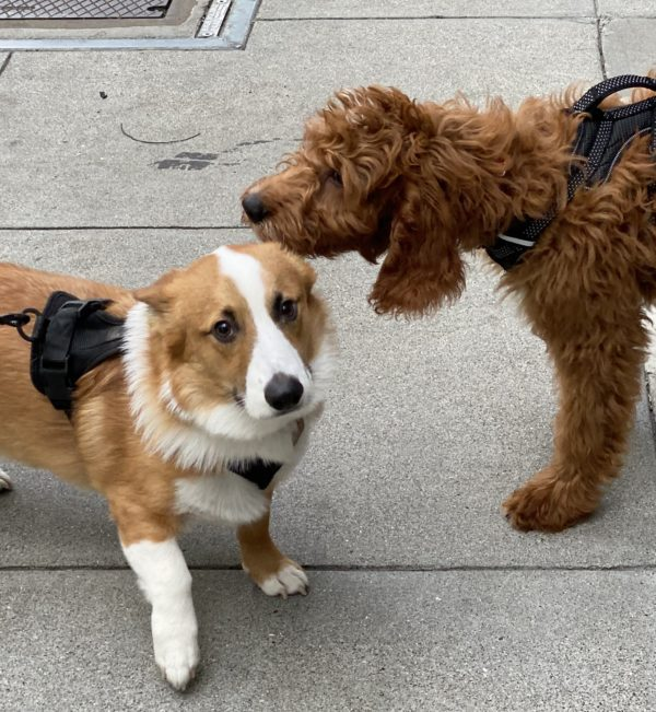 Pembroke Welsh Corgi Being Sniffed By Goldendoodle Puppy