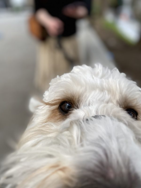 White Goldendoodle Sniffing The Camera