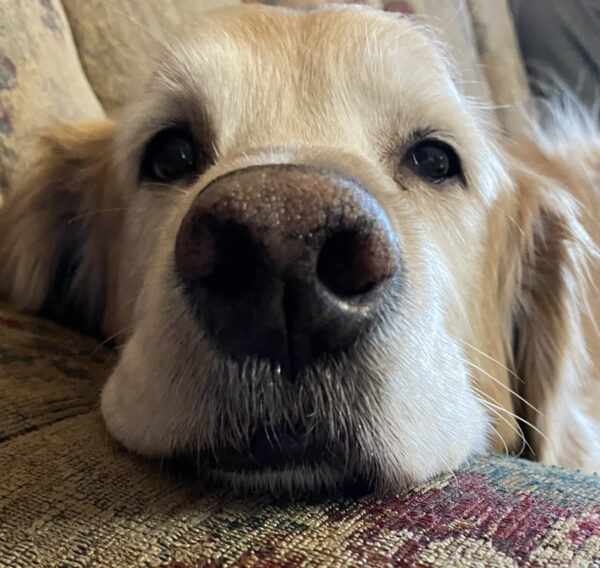 Golden Retriever With Squooshy Lips Sticking His Nose Into The Camera