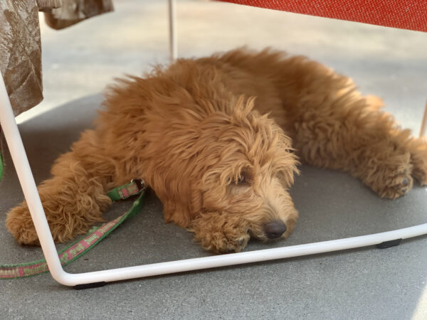 Goldendoodle Lying Outdoors Under A Chair