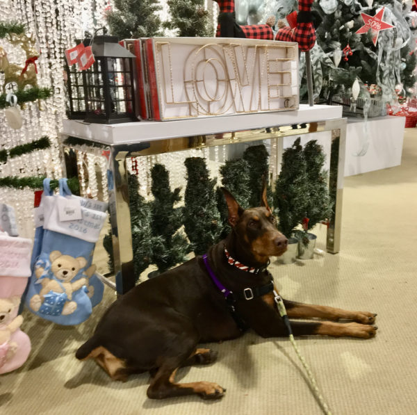 Doberman Pinscher Sitting In Front Of Christmas Display
