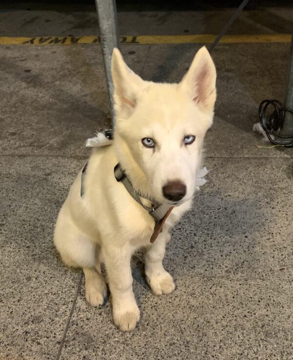 White Husky Puppy Wearing Wings