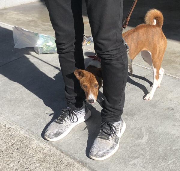 Basenji Peeking From Between Owner's Legs