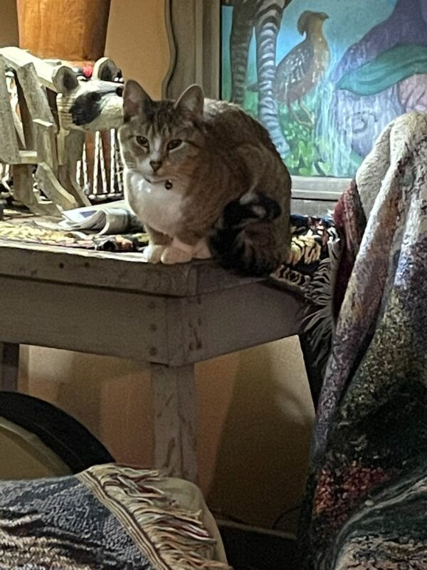 Brown Mackeral Tabby On A Table Staring At The Camera