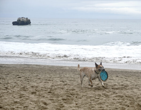 Australian Cattle Dog Running Across The Beach With A Frisbee