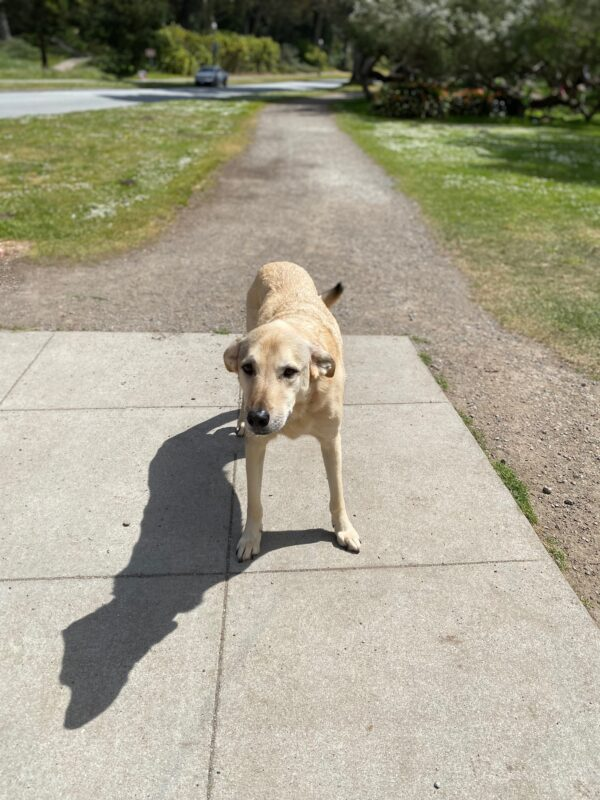 Labrador Retriever Mix Standing In Front Of Trail