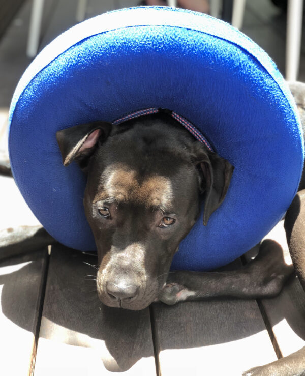 American Pit Bull Terrier Wearing Inflatable Cone Of Shame