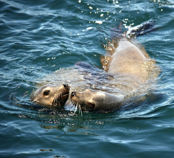 Two Sea Lions Flirting While Swimming