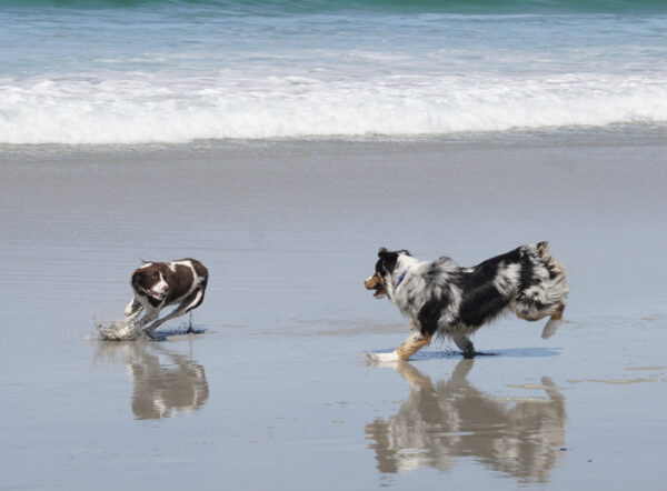 Australian Cattle Dog And Border Collie Playing On A Beach