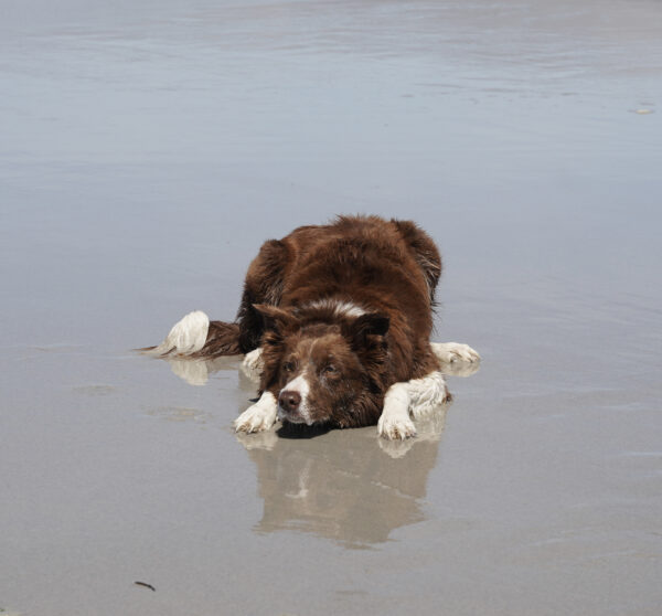Recessive Red Border Collie Lying On A Beach