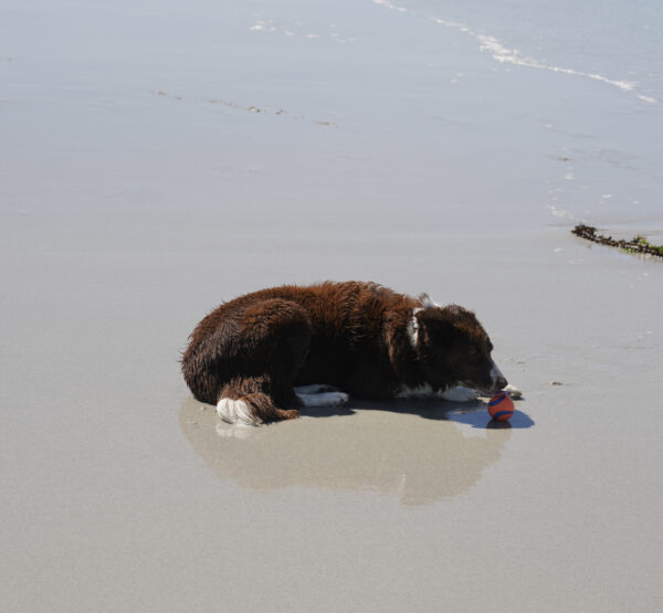 Recessive Red Border Collie Lying On A Beach Holding A Ball
