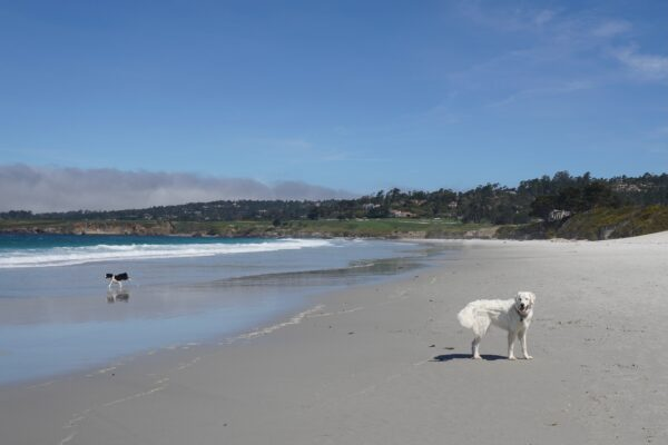 Great Pyrenees Grinning On A Beach
