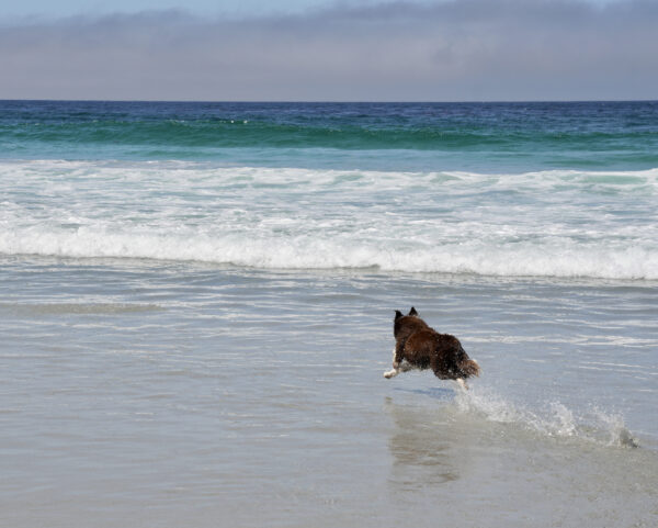 Recessive Red Border Collie Running On A Beach