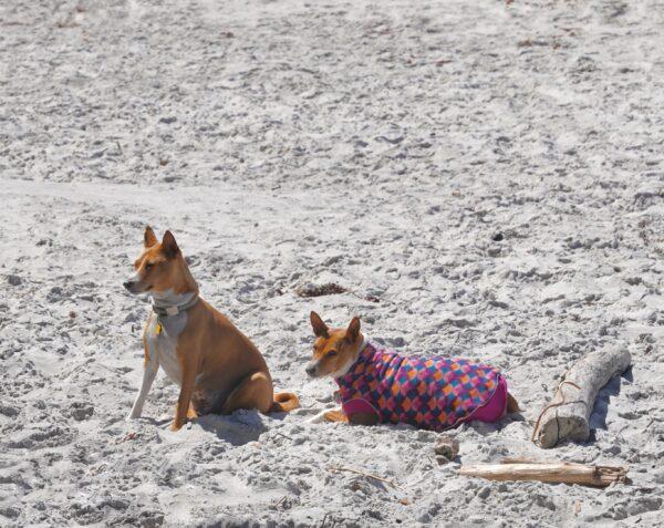 Two Basenjis On The Beach