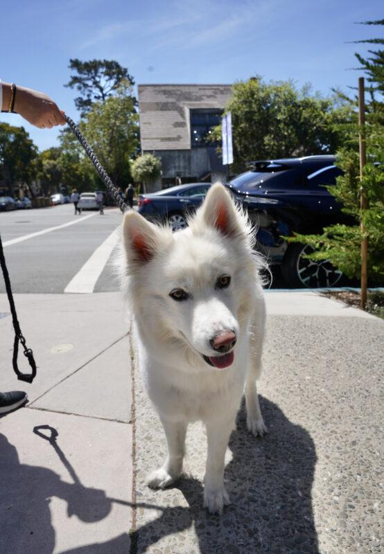 Samoyed Siberian Husky Mix