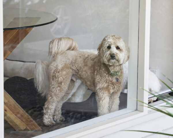 Goldendoodle Standing In A Window