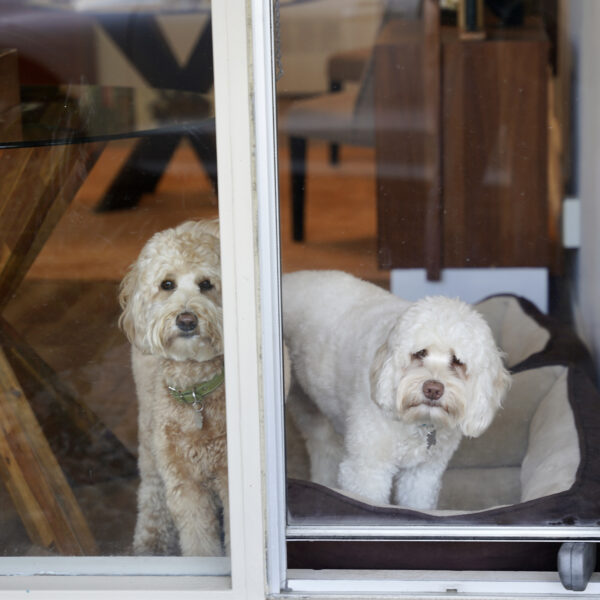 Two Goldendoodles In A Window