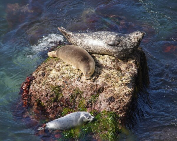 Three Harbor Seals, A Female, A Male, And A Juvenile, Basking On A Rock