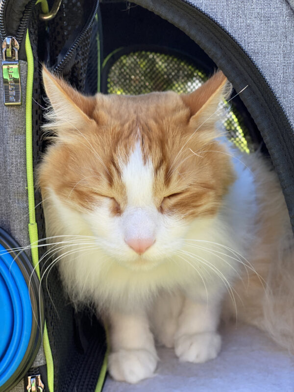 Woman With Fluffy Ginger Cat In Cat Carrier Looking Squooshy And Happy
