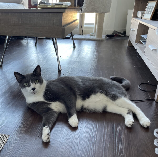 Grey And White Cat With A Black Nose Lying On A Wooden Floor