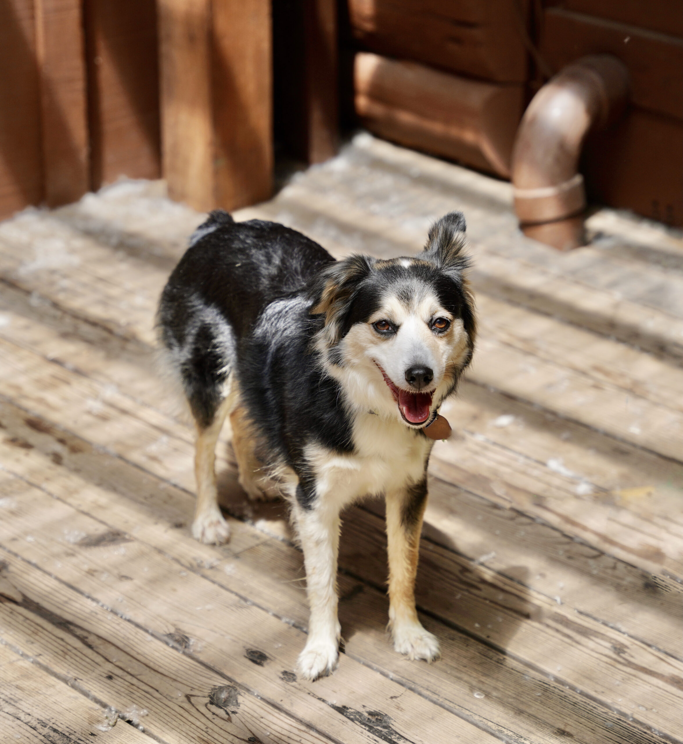 Australian Shepherd Mix Dog On A Deck Grinning With One Ear Flopped