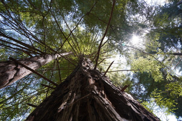 Redwood Tree, Shot Straight Up Trunk From Below