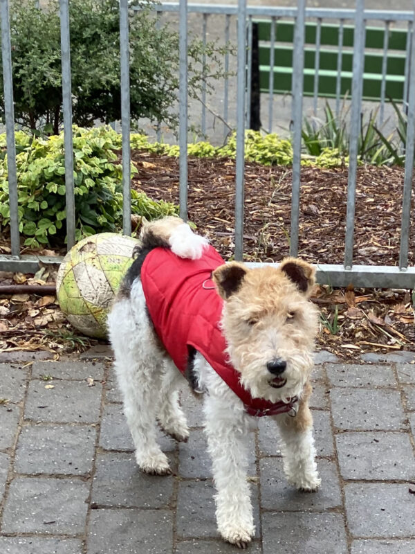 Wire Fox Terrier In A Red Vest