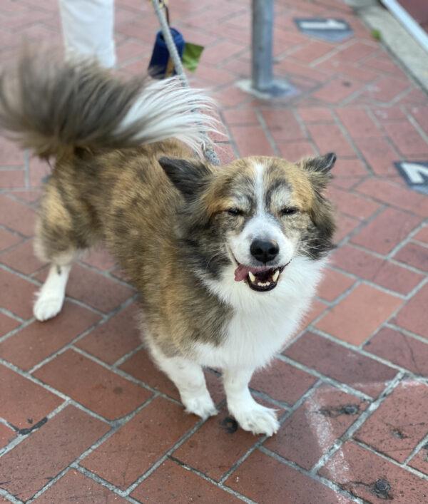 Pembroke Welsh Corgi Lhasa Apso Shih Tzu Mix Smiling With Eyes Closed
