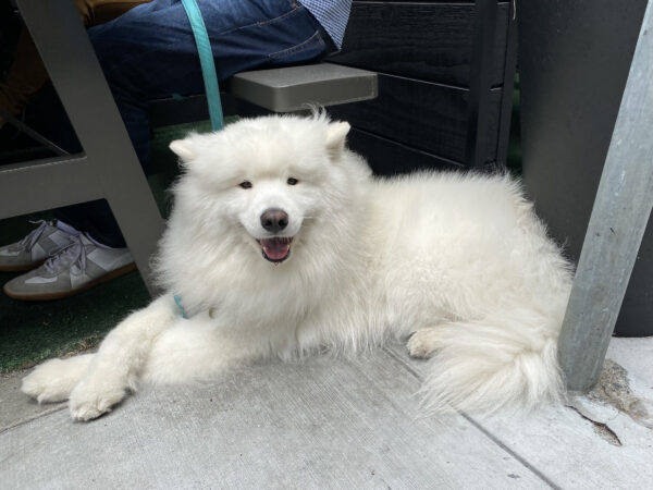 Samoyed Grinning With Front Paws Crossed