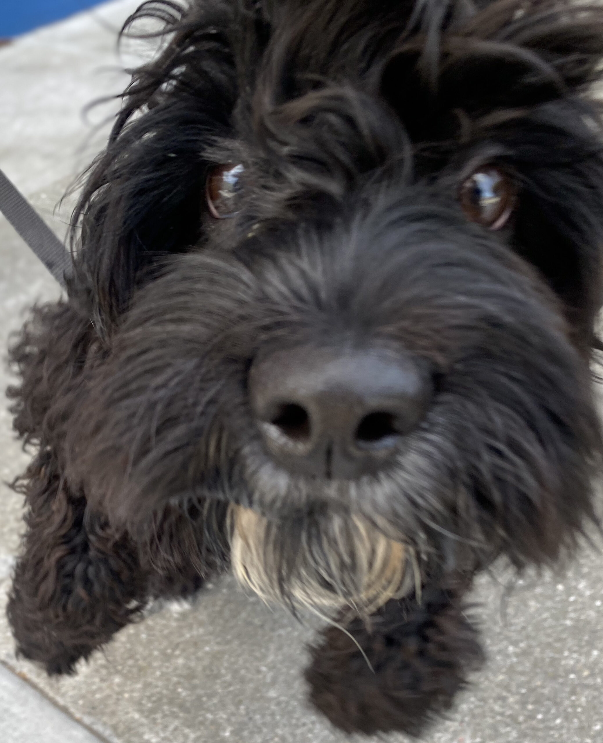 Cockapoo Puppy Sticking His Nose Into The Camera