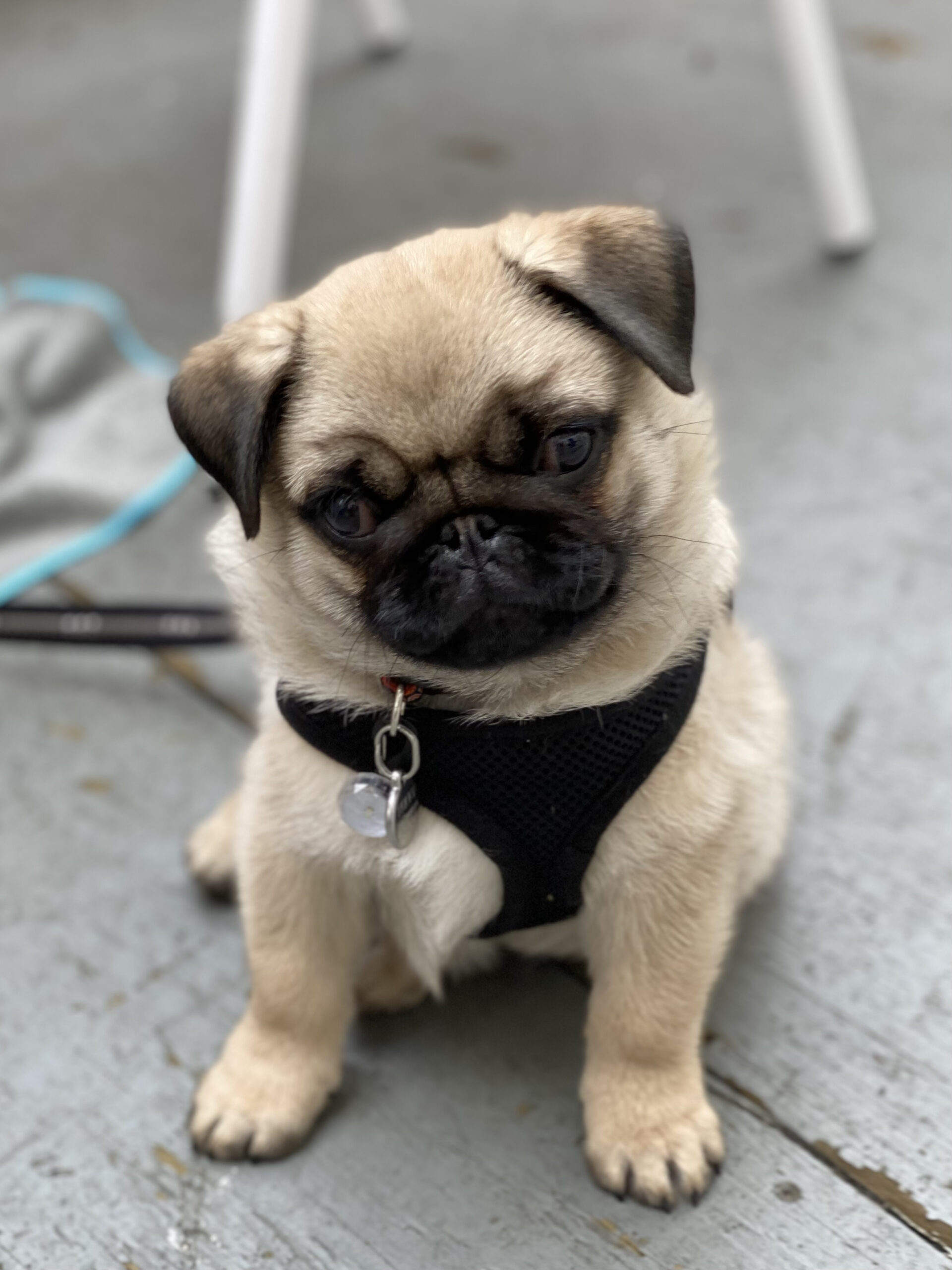 Pug Puppy Tilting His Head To The Side